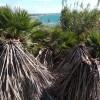 Costa di Carro sotto attacco del punteruolo rosso delle palme.