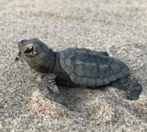 Le tartarughe Caretta Caretta e le spiagge di Donnalucata.